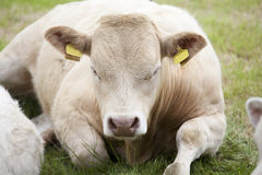 Resting cow Royalty Free Stock Images