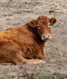 Resting cow interrupted royalty free stock image
