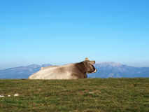 Resting cow on the mountains Royalty Free Stock Image