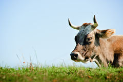 Resting Cow with Sky Royalty Free Stock Images