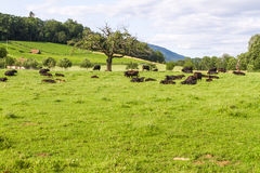 Resting Cows  Royalty Free Stock Image