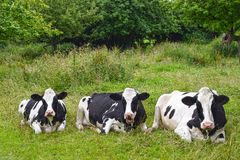 Free Resting Cows Royalty Free Stock Photography - 73912327