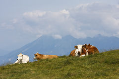 Resting cows in Austrian country, Dreilandereck. Brown-white cows are resting in the Austrian mountains in the border triangle of Austria, Slovenia and Italy royalty free stock photo