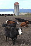 Resting cows, Suvie Island Oregon. Stock Photos