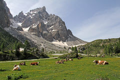 Resting cows on grassland. Some cows are resting in Venegia Valley in front of Cimon de la Pala Stock Image