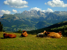 Resting cows and Odle group Stock Image