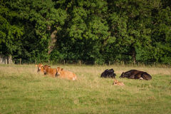 Resting cows Royalty Free Stock Images