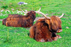 Resting cows Royalty Free Stock Photography