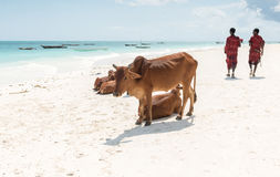 Resting cows and walking people on Zanzibar beach Royalty Free Stock Photo