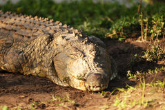 A resting Crocodile. A Crocodile watching you while resting Royalty Free Stock Photos