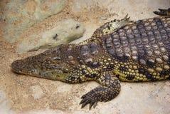 Resting Crocodile Royalty Free Stock Photos