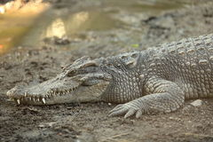 Resting crocodile Royalty Free Stock Images