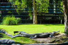 Resting Crocodiles. The crocs were resting between the shows at the Australia Zoo royalty free stock photo