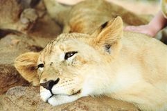 Resting cub. Stroking the lion cubs Stock Image