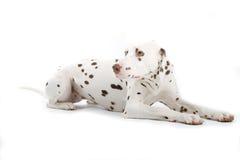 Resting Dalmatian Stock Images