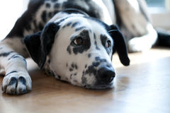 Resting dalmatian dog Stock Photography