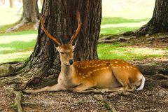 Resting deer. Deer from Nara, Japan, resting under the shadow of a tree in a sunny day Royalty Free Stock Image