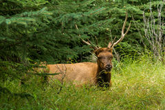 Resting deer. deer eat a grass. Resting deer and deer eat a grass. widlife Stock Photos