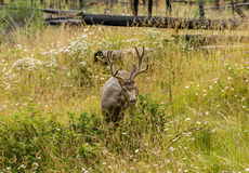 Resting deer. deer eat a grass. Resting deer and deer eat a grass. widlife Stock Photo