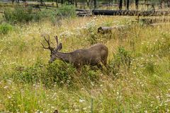 Resting deer. deer eat a grass. Resting deer and deer eat a grass. widlife Stock Photography