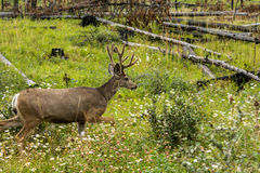 Resting deer. deer eat a grass. Resting deer and deer eat a grass. widlife Royalty Free Stock Images