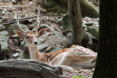 Resting deer 2. A deer resting in a forest Royalty Free Stock Photo