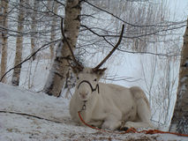 Resting deer. Reindeer lying on the snow between birch trees on the slope of hill Royalty Free Stock Image