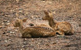 Resting deers Stock Photo