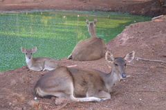 Resting deers Royalty Free Stock Photo