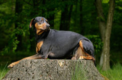 Resting doberman dog Stock Image