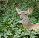 Resting Doe. Alert resting doe in ivy patch Stock Photo