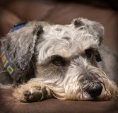 Resting dog. Grey miniature schnauzer dog resting on a brown surface indoors. Vignetting added royalty free stock photography