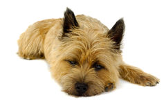 Resting dog. Sweet puppy dog is resting on a white background. The breed of the dog is a Cairn Terrier royalty free stock photography