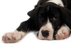 Resting dog. Great Dane puppy is resting on white background royalty free stock image