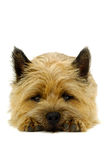 Resting dog. Sweet puppy dog is resting on a white background. The breed of the dog is a Cairn Terrier stock images