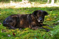 Resting dog Stock Image