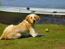 Resting dog. A view of a yellow Labrador retriever laying on the lawn, resting after a long day of playing in the nearby lake stock image