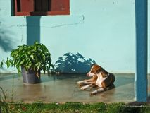 Resting dog. A dog resting on a porch in Cuba Stock Photos