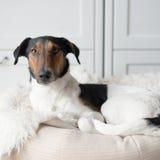 Resting dog Stock Photography