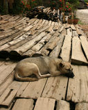 Resting dog in laotian afternoon Royalty Free Stock Photo