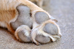 Resting dog's paw Royalty Free Stock Photo