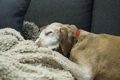 Resting dog. On the sofa Royalty Free Stock Image