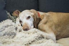 Resting dog. On the sofa Stock Image