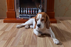 Resting dog on wooden floor stock images