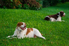 Resting Dogs. A Brittany and English springer spaniel relaxing on a lawn Royalty Free Stock Photography