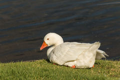 Resting domestic goose Royalty Free Stock Photos