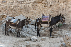 Resting donkeys in Lindos Stock Images