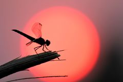 Dragonfly resting in front of the setting sun. stock photos