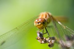 Resting dragonfly Royalty Free Stock Photos