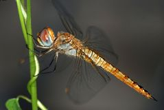 Resting dragonfly Royalty Free Stock Image